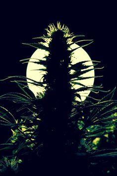 #marijuana Cannabidiol Oil for Curbing Anxiety