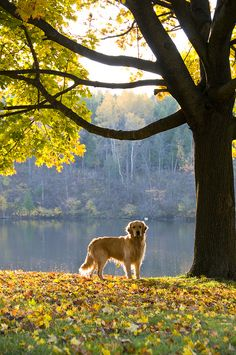 Golden Fall   ...........click here to find out more     http://guy.googydog.com/p