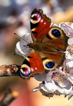 The European Peacock, more commonly known as the Peacock butterfly, Rusalka pawik (Inachis io - the only member of the Nymphalis genus)