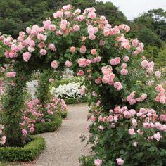 Strawberry Hill for the garden trellis