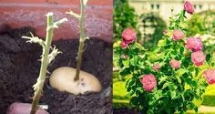 7 trikov do záhrady, ktoré musíte ovládať Edible Garden, Growing Plants, Indoor Plants, Succulents, Coconut, Home And Garden, Gardening, Planting, Fruit