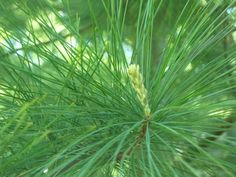 My Pine Tree