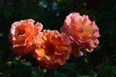 Päivän hankinta: Arabia  ruusu