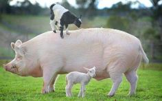 Big piggy little sheep. I absolutely adore this! Super sweet!