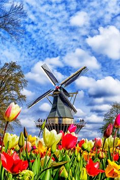 Dutch windmill and colorful tulips in spring garden of flowers Keukenhof, Holland, Netherlands