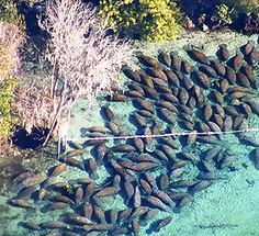 Watch 300 Manatees Shut Down a Wildlife Park | TakePart U.S. Fish and Wildlife officials counted 293 sea cows on Monday afternoon. With so many manatees in such a small space, park rangers closed one of the springs on Florida's west coast to swimmers, snorkelers, and kayaks to avoid contact between people and the gentle giants.