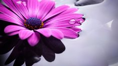 Gerbera, Flower Photos, Trees To Plant, Most Beautiful, Flora, Herbs, Plants, Photography, Photograph