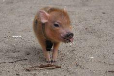 Seriöst, tycker du inte att grisar är söta? Då har du inte sett de här 25 bilderna. Vilken sötchock!