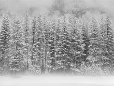 Trees in Fog, Winter, Yosemite