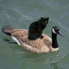 22 Heartwarming Pictures of Animals and . - 22 Heartwarming Pictures of Animals and Their BFFs I Love Cats, Crazy Cats, Cute Cats, Funny Cats, Cat Fun, Silly Cats, Fun Funny, Animals And Pets, Baby Animals