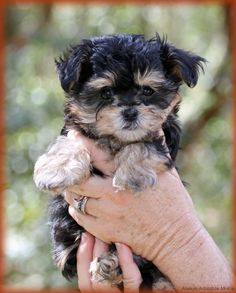 Our mi-ki puppies will have a wonderful, healthy start, which makes their transition to your home very smooth. Cutest little puppies you can find. Tiny Puppies For Sale, Cute Little Puppies, Cute Dogs, Dogs And Puppies, Adorable Puppies, Miki Dog, Puppy Nursery, Baby Animals, Cute Animals