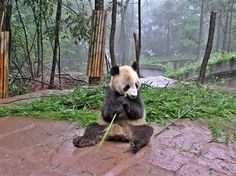 Volunteer with GoEco in China - Giant Panda enjoys a bamboo snack
