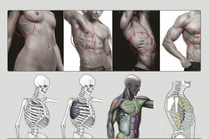 Anatomy Next - Anatomy of Torso: Anatomy & features