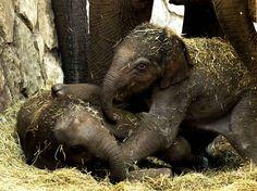Des bébés éléphants âgés de quelques heures jouent au zoo de Tel-Aviv.