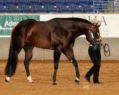 Most Beautiful Animals, Beautiful Horses, Beautiful Creatures, Quarter Horses For Sale, Morgan Horse, Types Of Horses, Western Riding, American Quarter Horse, Western Pleasure