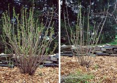 Čierna ríbezľa pred a po reze Garden, Plants, Garten, Lawn And Garden, Gardens, Plant, Gardening, Outdoor, Yard