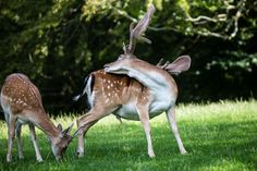 Fallow deers by Gert Lavsen on 500px