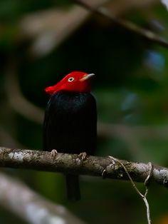 dançador-de-crista (Ceratopipra cornuta) por Marcelo Camacho | Wiki Aves - A Enciclopédia das Aves do Brasil