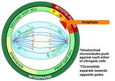 Anafase, del griego ανα (arriba) y φασις (fase), es una fase de la mitosis y meiosis en una célula eucariota, en la que los cromosomas duplicados son separados. Las cromátidas son entonces desplazadas a polos opuestos de la célula en división por el huso mitótico o meiótico, para que cada célula hija herede una copia de cada cromosoma.