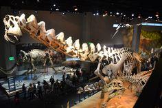 Dallas' Alamosaurus ... even the sauropods in Texas were bigger