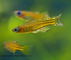 Bilde fra http://fc05.deviantart.net/fs39/i/2008/334/8/5/Gertrude_Rainbowfish_by_jaysen223.jpg.