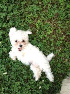 Adorable Malti-poo puppy.
