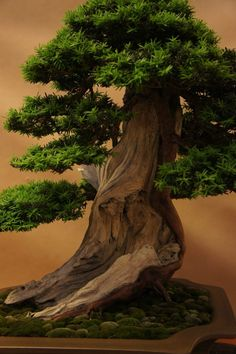 What a masterfully done conifer bonsai tree.