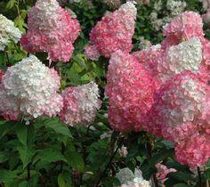 Strawberry Sundae Pink Panicle Hydrangea