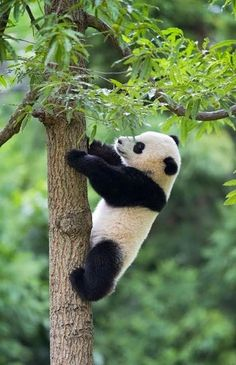 "A Panda: ""Tree-Climbing is Second Nature to Me!"""