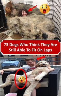 #73 #dogs who 3think they are still #able to #fit on #laps #animals #pets #funny Lap Dogs, Saga, Revolution, Super Cute, Author, Rock, Pets, Simple, Funny