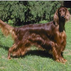 Irish Setter - Long before Big Red starred in the movie of the same name, the Irish Setter was a headliner both in the field and on the bench. With a long, lean head, well-feathered ears, tail, legs and underbody, and a strong ground-covering trot, the Irish Setter looks every inch an aristocrat.