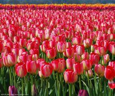 Tulip fields; Skagit Valley, WA