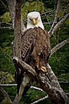 """Bald Eagle Stare Down"" von Jim Bavosi - Tiere - Exotic Birds, Colorful Birds, Owl Bird, Pet Birds, Beautiful Birds, Animals Beautiful, Eagle Wallpaper, Eagle Pictures, Hells Angels"