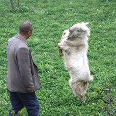 Dancing goat in Sichuan province, china