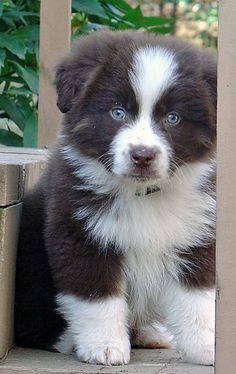 Find Out More On The Smart Australian Shepherd Puppy Animals And Pets, Baby Animals, Funny Animals, Cute Animals, Cute Puppies, Dogs And Puppies, Pet Dogs, Dog Cat, Doggies