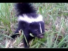 Baby Skunk Friend!! (ORIGINAL) - YouTube
