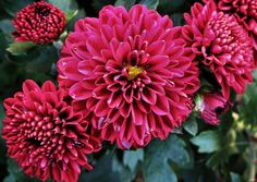 Burgandy Mums Fall Mums, Branches, Succulents, Bubbles, Deck, Yard, Wedding Ideas, Plants, Dahlias