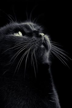 All cats are special, and that includes black cats. Some people don't thiink so though, but black cats are just as loving as other cats. A friend of mine had a beautiful black cat named Magic and he was a gentle lovely cat. Beautiful Cats, Animals Beautiful, Cute Animals, Beautiful Pictures, Crazy Cat Lady, Crazy Cats, I Love Cats, Cool Cats, Gatos Cool