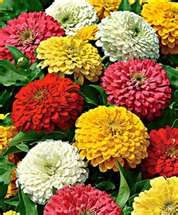 Zinnias are beautiful in the summer, especially when they grow along side an old white picket fence! Some can be up to 2-3ft tall, while dwarf varieties add color closer to the ground! I've grown these almost every summer!
