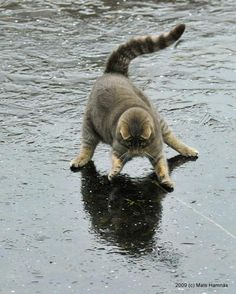 Chat dansant sous la pluie (Cat dancing in the rain). Funny Cat Images, Funny Animal Memes, Funny Cat Pictures, Animal Pictures, Funny Cats, Funny Animals, Cute Animals, Cats Humor, Animals Images