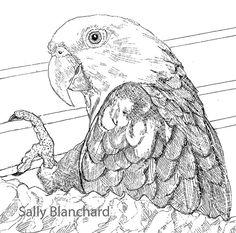 Sally Blanchard - Pen Drawing Double yellow-head Amazon Elder