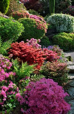 Rock Garden with pink and red flowering Kurume azaleas and rhododendrons in May, Leonardslee Landscape Gardens, West Sussex, UK