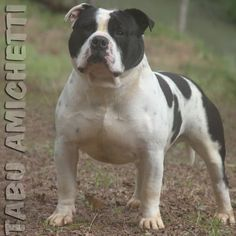 American Staffordshire Terrier Blue Nose | FILHOTES POCKET BULLY AMERICAN…