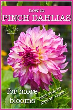 How to Pinch Dahlias! Step by step with video. You can get tons more blooms from your dahlias with this fast and easy step. Dahlias are perfect in a cutting garden, they create beautiful bouquets and the more you cut the more they produce. Diy Garden, Garden Care, Garden Cottage, Shade Garden, Garden Landscaping, Garden Ideas, Landscaping Ideas, Cut Flower Garden, Beautiful Flowers Garden