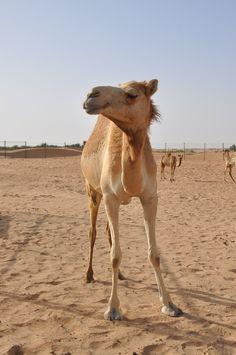 Young camel in Dubai desert, UAE