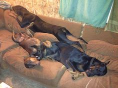 Couch lovers... When I think of Dobermans this is how I picture them. They play hard and relax hard... Best dog! (Picture only)