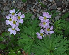 anemone fasciculata - Sök på Google
