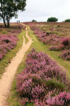 Heath in Ermelo, the Netherlands