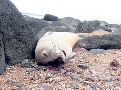 LIHUE — A female Hawaiian monk seal pup, one of several that survived a deadly dog attack in July, was found bludgeoned to death Sunday along a rocky beach in Anahola.