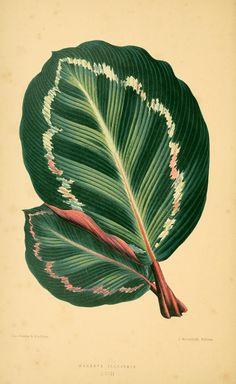 Calathea roseopicta (Linden) Regel [as maranta illustris Linden] Rothschild, J., Les plantes a feuillage coloré [original ed. E.J. Lowe and W. Howard, Beautiful leaved plants (1861)], vol. 2: t. 18 (1870) family: Marantaceae tribe: Phrynieae